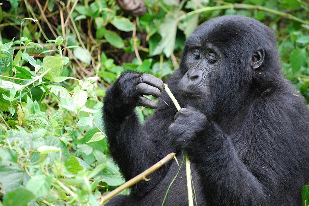 Uganda Gorilla tour for 5 days