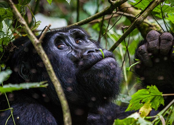 Gorilla habituation safari for 3 days