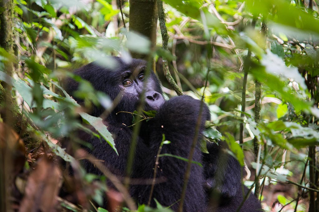 Bwindi gorilla trekking for 3 days